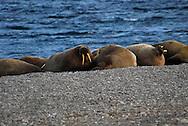Walrus ( Odobenus rosmarus ). Maxwell Bay on Devon Island.  Lancaster Sound. HIgh Arctic. Canada<br />