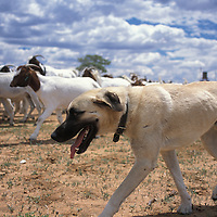 Anatolian guarding dog.Namibia.Anatolian shepherd dogs with herder. Anatolian Shepherds originated in Turkey over 6000 years ago. During this time, they have been bred to be trustworthy, attentive and protective. They stand approximately 24inchs at the shoulder and can weigh up to 150lbs (most average about 100lbs). If an intruder approaches, the dogs bark first and will only attack as a last resort. Most predators will avoid this large, and aggressively loud breed of dog. For the shy cheetah, the risk of injury far outweighs the chance of a meal.