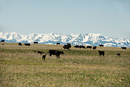 Black Angus, cattle, pasture, Lazy SR Ranch, Wilsall, Montana