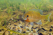 Bluegill (male guarding nest with eggs)<br />