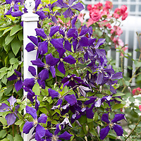 Botanicals: Vines