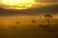 Two common zebra walking across the plains at sunset.