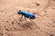 A tiger beetle ( Cicindela sp), east Texas.
