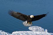 Bald Eagle, Haliaeetus leucocephalus, Kenai Peninsula, Homer Spit, Homer, Alaska