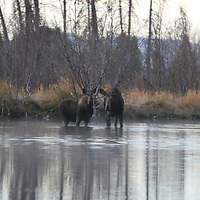 Moose &amp; Calf<br />