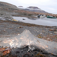 Fluke. Remains of a dead narwhal ( monodon monoseros ) after a killing. Coastal Inuit community of Arctic Bay. Lancaster Sound. HIgh Arctic. Baffin Island.<br />