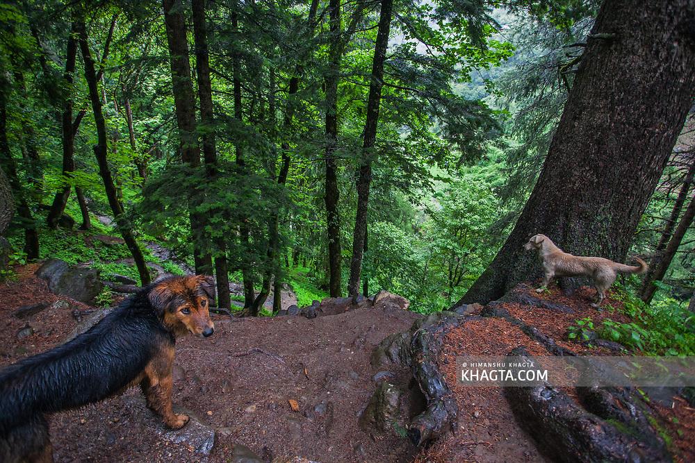 Dogs waiting for me in Parvati valley in Kullu, Himachal Pradesh, India
