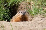 Woodchuck, Groundhog, Whistle-pig, Land-beaver (Marmota monax)<br /> ALASKA: Fairbanks North Star Borough<br /> Park along Chena River<br /> 5-July-2012  64.792174, -147.194800<br /> J.C. Abbott #2616 &amp; K.K. Abbott