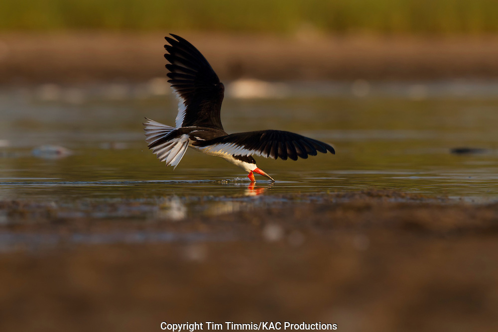 Black Skimmer, Rynchops niger, Bryan Beach, Texas gulf coast, skimming with beak in water, back lighting
