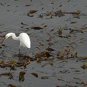 An egret hunts in for a meal in a kelp bed in Monterey, California, on Sunday, January 11, 2010. (© 2010, Cindi Christie)