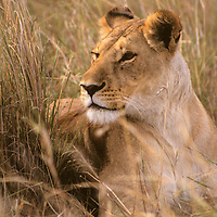 Africa, Kenya, Maasai Mara. Lioness of the Mara.