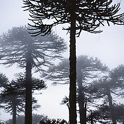 "Hear the warble of exotic birds as you walk through an enchanting Monkey Puzzle tree forest in Nahuelbuta National Park, Cordillera de Nahuelbuta, a coast range near Angol (north of Temuco), Chile, South America. Mysterious mists water a garden of yellow lichen draped over the trees. Branches form an umbrella of sharp leaves on a straight trunk which grows to over 100 feet high. Monkey Puzzle trees (Araucaria araucana) are conifers which are usually dioecious, where male and female cones grow on separate trees, though some individuals bear cones of both sexes. Its edible seeds (about 200 in each female cone) are similar to large pine nuts. Araucaria araucana, the national tree of Chile, is native to central and southern Chile and western Argentina. As the hardiest species of its genus, this tree has become popular in gardens. Unfortunately, due to logging, burning, grazing, and habitat conversion to Pinus radiata plantations, Araucaria araucana is listed as an endangered species by CITES (Convention on International Trade in Endangered Species of Wild Fauna and Flora). In France, the Monkey Puzzle tree is known as désespoir des singes or ""monkeys' despair."" In the native Mapuche language, Nahuelbuta means ""big tiger."" What international tourist literature calls the ""Chilean Lake District"" usually refers to the foothills between Temuco and Puerto Montt including three Regions (XIV Los Ríos, IX La Araucanía, and X Los Lagos) in what Chile calls the Zona Sur (Southern Zone). In Chile, Patagonia includes the territory of Valdivia through Tierra del Fuego archipelago. Spanning both Argentina and Chile, the foot of South America is known as Patagonia, a name derived from coastal giants (""Patagão"" or ""Patagoni"" who were actually Tehuelche native people who averaged 25 cm taller than the Spaniards) who were reported by Magellan's 1520s voyage circumnavigating the world."