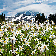 "The White Avalanche Lily is a member of the lily family native to coastal British Columbia and the alpine and subalpine Olympic and Cascade Ranges of the Pacific Northwest of North America. Its flower blooms as snow melts in late spring, in damp subalpine woodlands and alpine meadows, often in extensive patches. In the central Cascades, it often grows mixed with Clintonia uniflora and Trillium ovatum at the lower elevations of its range, and with Anemone occidentalis at higher elevations. Spray Park, Mount Rainier National Park, Washington, USA. Published in ""Light Travel: Photography on the Go"" book by Tom Dempsey 2009, 2010."