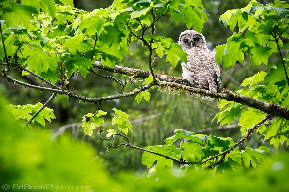 An immature Barred Owl stares from the forest canopy in the Olympic National Forest, Washington, USA