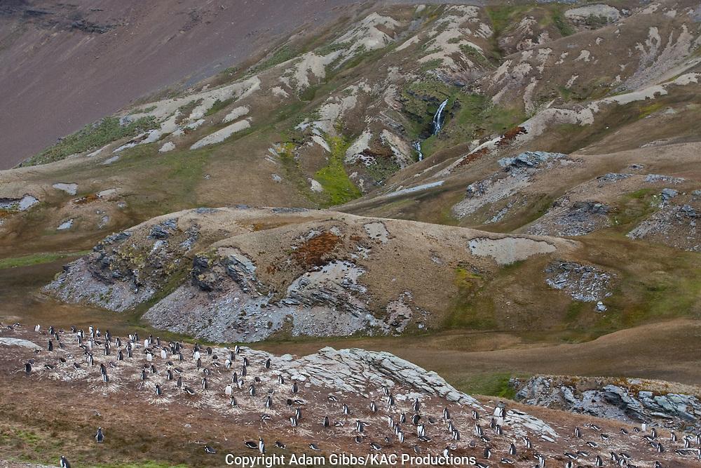 Birds; Falkland Islands; Gentoo penguin; Pygoscelis papua; Saunders Island; South America