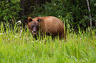Grizzly Bear (Ursus arctos horribilis) - cub<br /> CANADA: British Columbia (Stikine Region)<br /> along Alaska Highway<br /> 18-July-2012<br /> J.C. Abbott &amp; K.K. Abbott