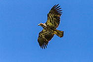 Juvenile Bald Eagle (Haliaeetus leucocephalus) riding the air currents over the cliffs at Kwomais Point Park in South Surrey, British Columbia, Canada