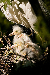 Snowy egret (Egretta thula) chicks underneath a parent in a nest in the Gatorland alligator breeding marsh and bird sanctuary near Orlando, Florida. The bird sanctuary is the largest and most easily accessible wild wading bird rookery in east central Florida. It is not unusual for the two stongest chicks to toss a weaker sibling out of the nest to die.