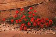 Indian Paintbrush. Zion National Park in Utah,