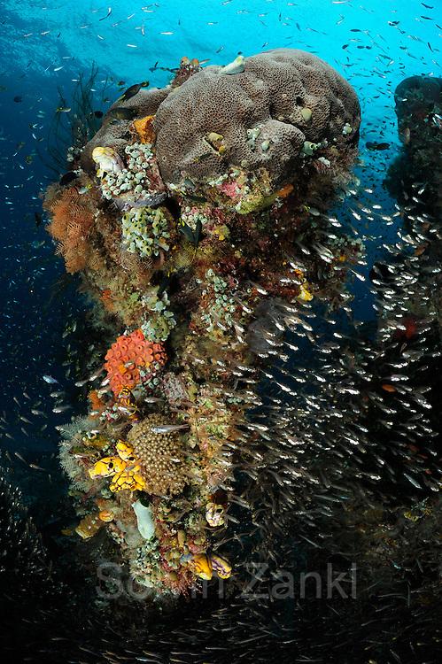 Rich reef with stone coral, tunicates, Bryozoa and Reeffish. Raja Ampat, West Papua, Indonesia, Pacific Ocean   Unterschiedliche Korallen, Schwämme, Moostierchen, Manteltiere und Fische befinden sich auf diesem etwa 2m hohen Korallenstück. Die Farbenvielfalt verrät es: Raja Ampat in Indonesien ist eine der artenreichsten Regionen im Meer. (Indonesien)
