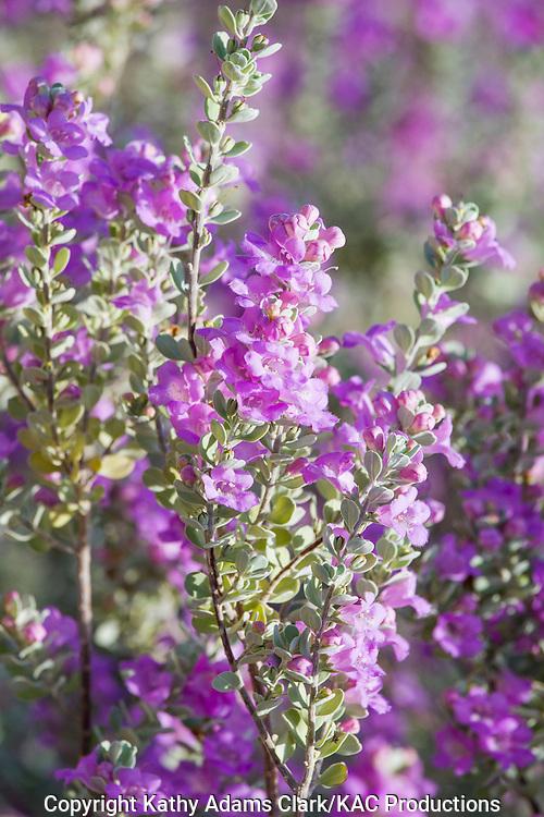 Cenizo blooms; Leucophyllum frutescens; at Big Bend National Park, Texas.