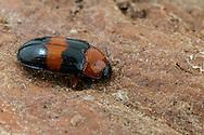 Pleasing Fungus Beetle (Triplax festiva)<br /> United States: Alabama: Tuscaloosa Co.<br /> Tulip Tree Springs off Echola Rd.; Elrod<br /> 1-Sep-2016<br /> J.C. Abbott #2862