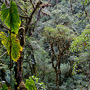Forest scene in the cloud forest of Sunchubamba Communal Forest Reserve owned by Sunchubamba Native Community in the Andes of Peru (2950 m). The community has set aside this protected land along Manu Road and it forms part of the Manu - Tambopata Conservation Corridor.