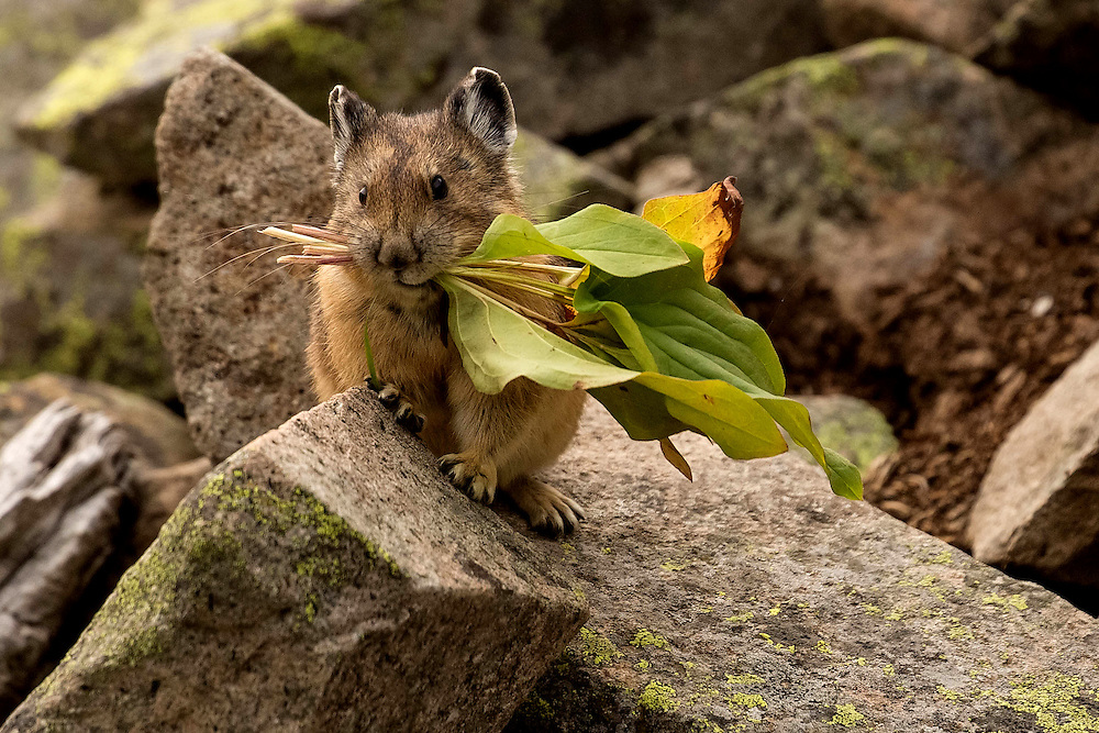 As autumn nears, American pikas busily prepare for the lean times of winter. Pikas begin collecting wildflowers and grasses, laying them out in the sun to dry. Once dried, the pika gathers his plants and stores them in his den so he can eat them over the winter.