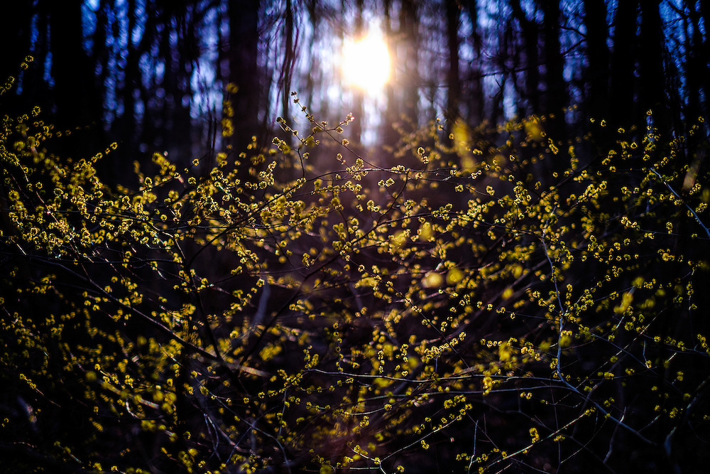 Rising sun over new spring growth in Oella, Maryland.