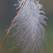 Feather. Lake of the Woods, Ontario, Canada.