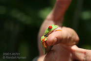 07: ECOTEACH RED-EYED TREE FROG 1