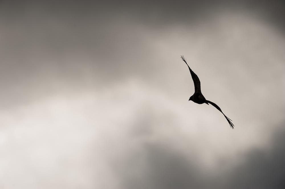 Buzzard in flight, Scotland