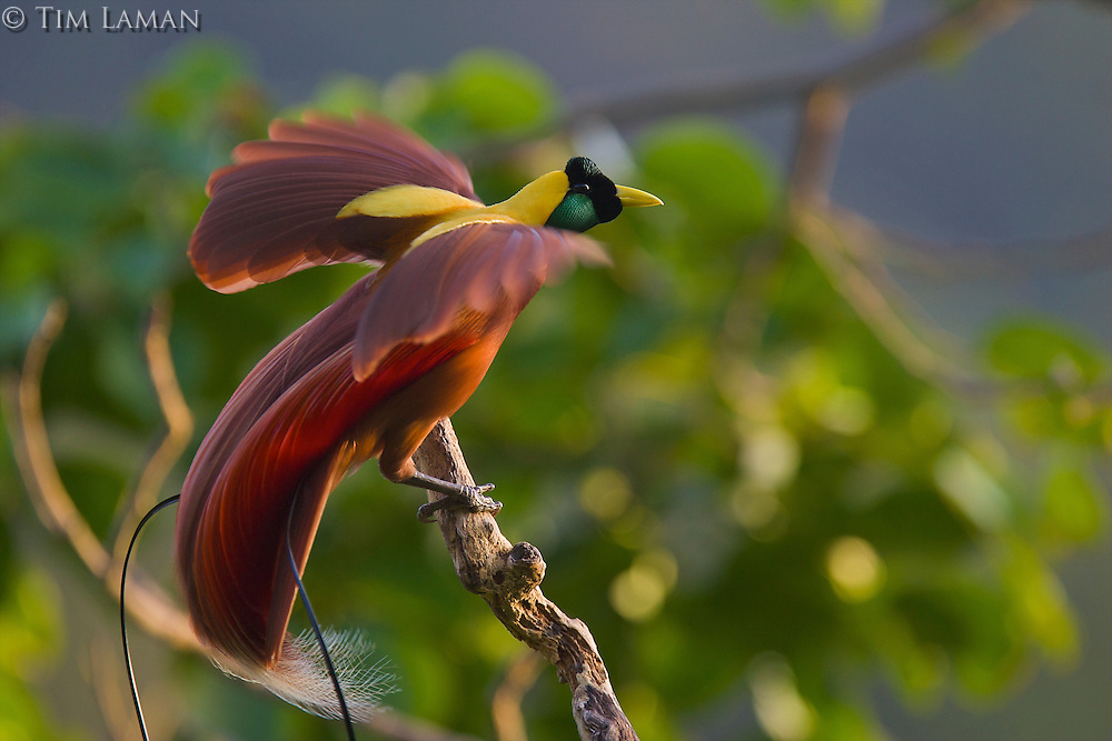 Red Bird of Paradise (Paradisaea rubra) male performing a practice display at his display site, known as a lek, high in the canopy of the forest on Batanta Island, Indonesia.  Photographed from a canopy blind..IUCN Red List:  NT
