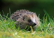 Hedgehog on woodland edge