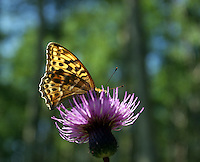 Sommerfugl (Euptoieta claudia) på tistel, butterfly (Euptoieta claudia) on thistle