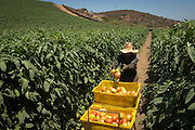 West Coast Tomatoess harvest, Oceanside, California