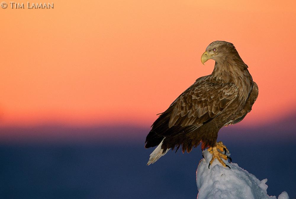 An White-tailed Sea Eagle (Haliaeetus albicilla albicilla) perched on sea ice at sunrise.