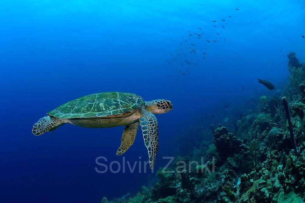 Green sea turtle (Chelonia mydas) | Grüne Meeresschildkröte (Chelonia mydas) im Freiwasser auf ihrem Weg zum nächsten Atemzug. Etwa alle 45 Minuten müssen Meeresschildkröten wieder an die Oberfläche, um dort vor dem erneuten Abtauchen mehrere Atemzüge zu nehmen.