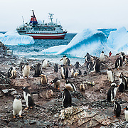 """Gentoo Penguins (Pygoscelis papua) emerge from iceberg bejeweled waters of the Southern Ocean to waddle to their summer colony on Cuverville Island, Antarctica. The adventure cruise ship M/S Explorer anchors offshore in 2005. An adult Gentoo Penguin has a bright orange-red bill and a wide white stripe extending across the top of its head. Chicks have grey backs with white fronts. Of all penguins, Gentoos have the most prominent tail, which sweeps from side to side as they waddle on land, hence the scientific name Pygoscelis, """"rump-tailed."""" As the the third largest species of penguin, adult Gentoos reach 51 to 90 cm (20-36 in) high. They are the fastest underwater swimming penguin, reaching speeds of 36 km per hour. Cuverville Island is in Errera Channel off the west coast of Graham Land, the north portion of the Antarctic Peninsula. Reuters News Pictures Service published this image in stories on the M/S Explorer, which sank after hitting an iceberg in 2007 and now lies sunk 600 meters deep in the Southern Ocean. The Explorer, owned by Canadian travel company GAP Adventures, took on water after hitting ice at 12:24 AM EST on Friday November 23, 2007. 154 passengers and crew calmly climbed into lifeboats and drifted some six hours in calm waters. A Norwegian passenger boat rescued and took them to Chile's Antarctic Eduardo Frei base, where they were fed, clothed, checked by a doctor, and later flown to Punta Arenas, Chile. The ship sank hours after the passengers and crew were safely evacuated."""