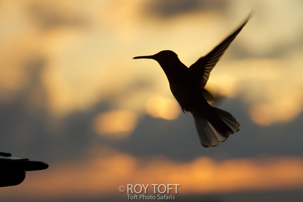 Silhouette of a hummingbird in flight at sunset, Osa Peninsula, Costa Rica