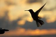 Silhouette of a hummingbird in flight at sunset, Osa Peninsula, Costa Rica