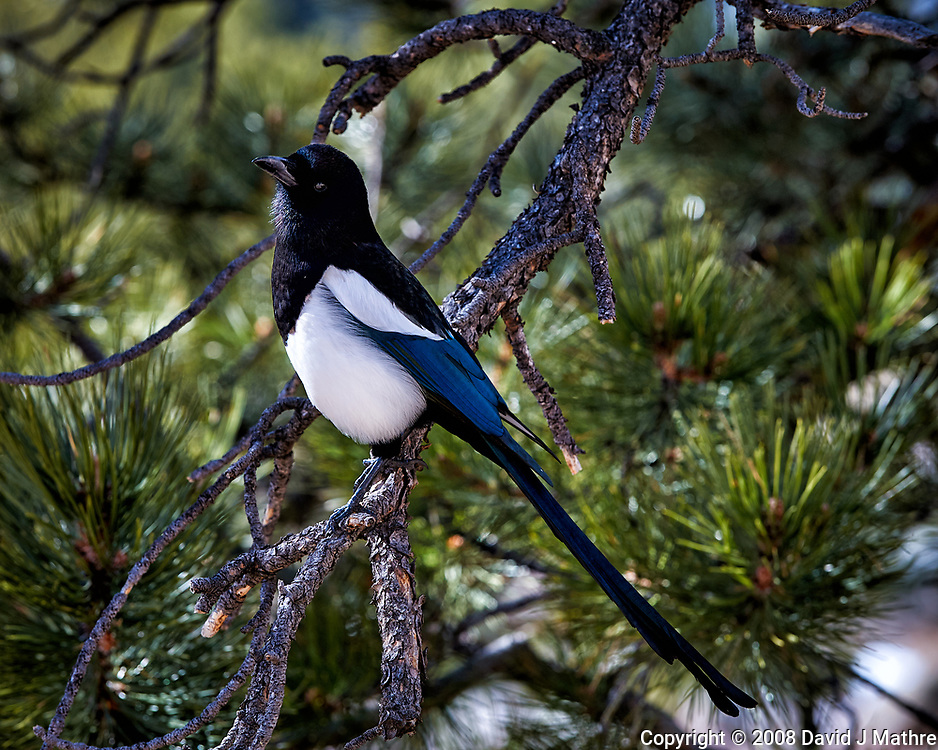 Black-billed Magpie in a pine tree at Endovalley in Rocky Mountain National Park. Image taken with a Nikon D3 camera and 70-200 mm f/2.8 VR lens (ISO 200, 125 mm, f/2.8, 1/1600 sec).