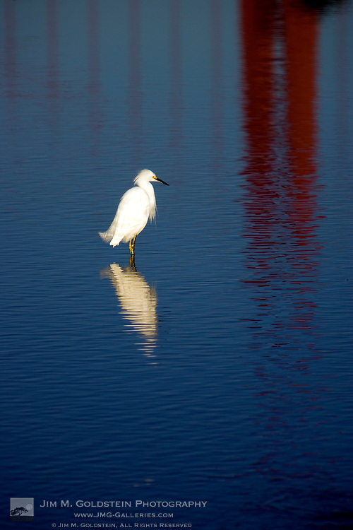 Snowy Egret with reflections of the Golden Gate Bridge