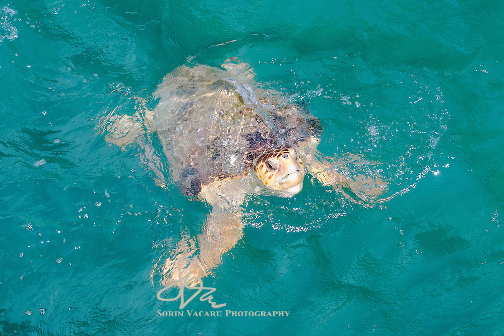 Hawksbill Turtle coming up for air