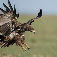 Kenya, Masai Mara Game Reserve, Tawny Eagle (Aquila rapax) spreads wings while landing on savanna