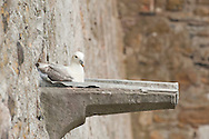 Fulmar (Fulmarus glacialis) on drainage channel protruding from the walls of Lindisfarne Castle. Holy Island, Northumberland, UK (May 2016) © Rudolf Abraham