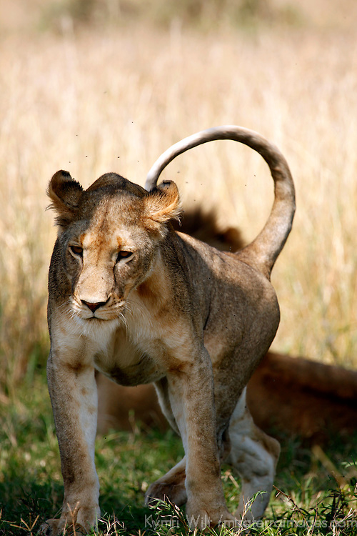 Africa, Kenya, Maasai Mara. Female lioness in the Mara.