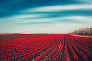 Field of red tulips near the Rhine river - textured photograph