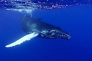 Every year, North Atlantic Humpback Whales (Megaptera novaeangliae) migrate south to the Silver Banks, a small area 80 miles southeast of Grand Turk, to breed and give birth to their calves. Few places in the world offer such a large concentration of humpback whales and provide an opportunity to swim with these giants.