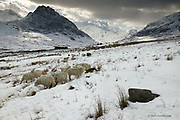 A small flock of sheep huddle together for warmth in winter in the exposed Nant Ogwen Valley in the heart of the Snowdonia mountains.  The impressive triangular dark mountain on the left is Tryfan, one of Snowdonia's most spectatcular but dangerous peaks.